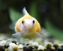 ピンポンパール 餌 量 頻度