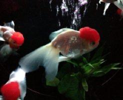 丹頂 金魚 水温