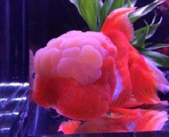 金魚 オランダ獅子頭 大きくする