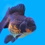 金魚オランダ獅子頭の飼育方法について