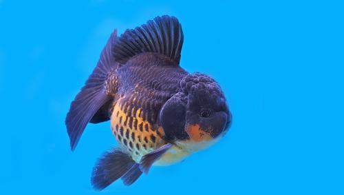 金魚 オランダ獅子頭 飼育