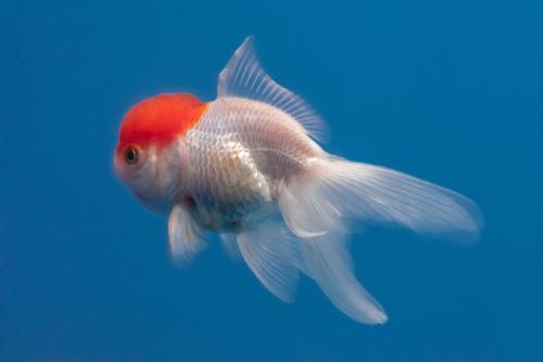 金魚 丹頂 大きさ