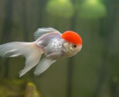 金魚 丹頂 寿命