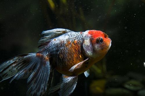 金魚 東錦 大きさ