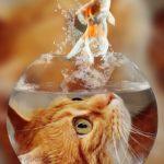 金魚を猫が食べる事はあるの?同居しても大丈夫?