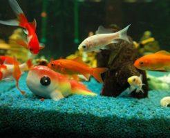 金魚 色 遺伝