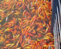 金魚 品種 認定