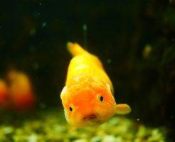金魚 弱る 原因 回復