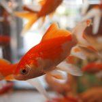 金魚の交配の方法について! 交配のシーズンはいつ?