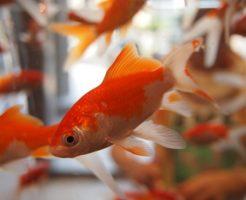 金魚 交配 方法