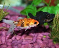 金魚 プレコ 相性 混泳