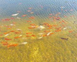 金魚 寿命 長い 種類