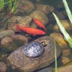 金魚のための池と水質の作り方どうする?