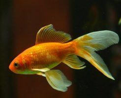 金魚 追いかける 理由