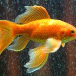 複数の金魚に影響を及ぼさないためのトリートメントの方法