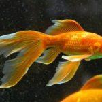 変化する金魚の色!原因とは何?