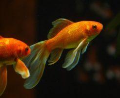 金魚 アンモニア中毒 症状