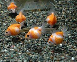 金魚 寄り添う 理由