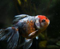 金魚 あくび 理由