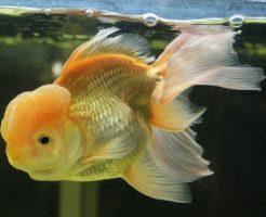 金魚 オランダ 大きさ 寿命 性格