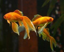 金魚 混泳 おすすめ