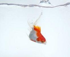 金魚 ポップアイ 原因 治療 対策