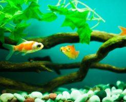 金魚 薬 併用