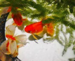 金魚 水草 種類