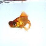 金魚の飼育。出目金の上手な飼い方について