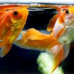 琉金が餌を食べない、吐き出す時の原因や対策方法
