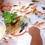 金魚の飼育。出目金の餌の選び方やおすすめは!?