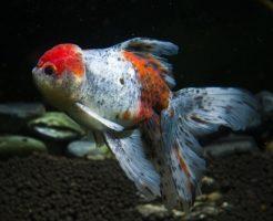 金魚 東錦 寿命