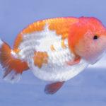 らんちゅうの稚魚の成長過程。早く成長させるにはどうしたらいい?