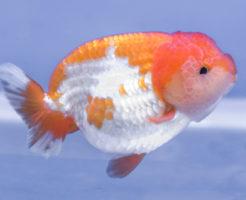 らんちゅう 稚魚 成長過程