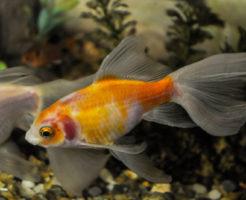 金魚 種類 朱文金