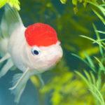 タンチョウ金魚の水槽飼育について