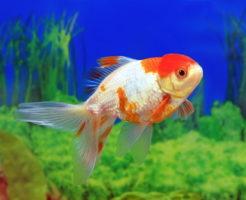 金魚 丹頂 赤い