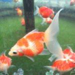 金魚「ピンポンパール」の飼い方について
