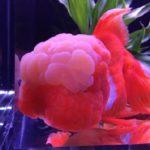 金魚オランダ獅子頭のサイズを大きくする方法