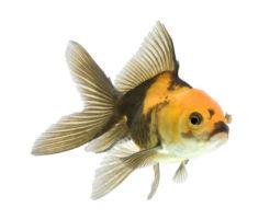 金魚 オランダ獅子頭 価格