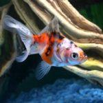 金魚の種類「東錦」の飼育方法について