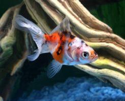 東錦 金魚 飼育
